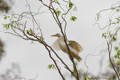 Breeding Cattle Egrets (Ardea ibis) - Gloucester, NSW | by Craig Jewell Photography