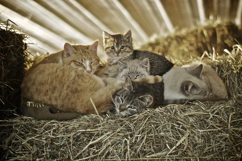 Barn Cats For Sale