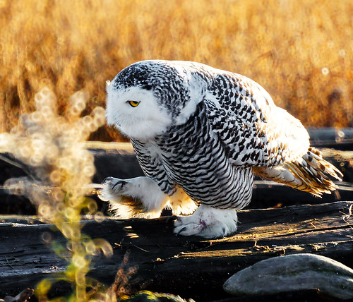 Snowy Owl: I am watching you! | by TOTORORO.RORO