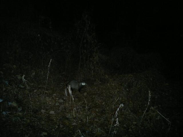 wild raccoon in Gaepo, Seoul 개포동 부근에 자리 잡은 너구리