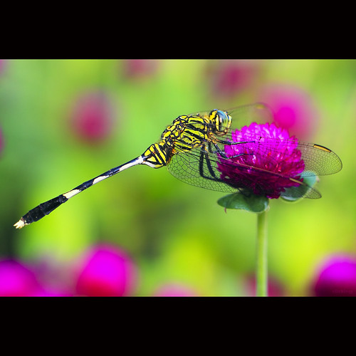 Green dragonfly | by -clicking-