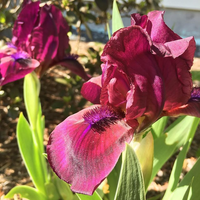 Bearded #iris blooming. Love this color!