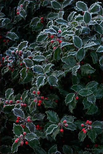 Frosty Morning Holiday Herald | by b.d.bop