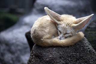 fennec fox | by cactusbeetroot