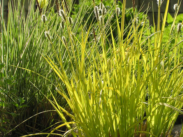 Carex elata 'Aurea' & Calamacrostis x acutiflora 'Overdam'