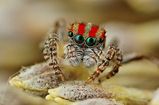 maratus volans | by FISHNROBO