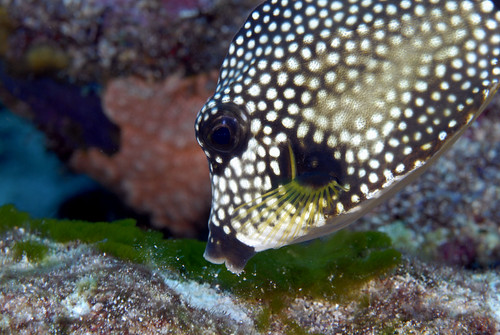 42_adj_DSC3146 trunkfish vacuuming | by edpdiver
