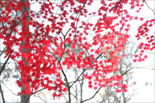 japanese maple IMG_9562-1 | by Bahman Farzad