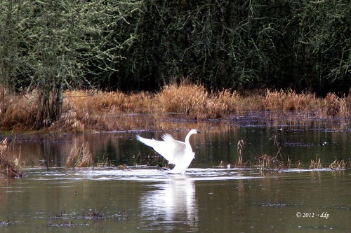 Trumpeter Swan ~ Strutting or Just Flapping Around? ~ You Decide | by Pixel Packing Mama
