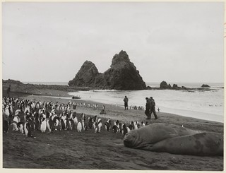 Sea elephants and royal penguins, Macquarie Island, c. 1950s | by State Library of New South Wales collection