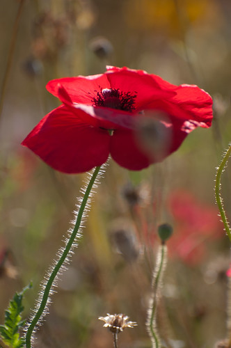 The Last Oxford Poppy | by Environmental Artist