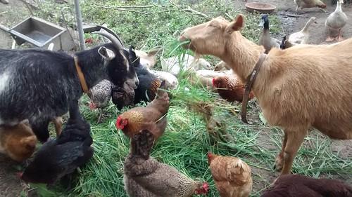 goats May 16 (9)