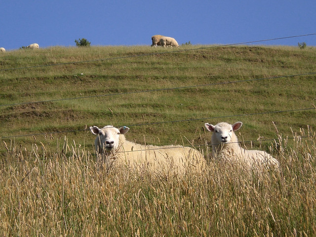 New Zealand Tour Sheep