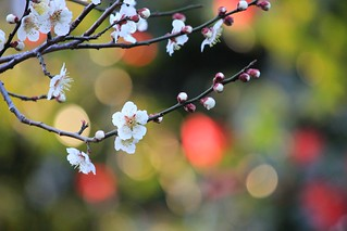 Plum blossoms with colorful bokehs | by tanakawho