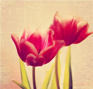 Tulip Time | by amberaikenphotography