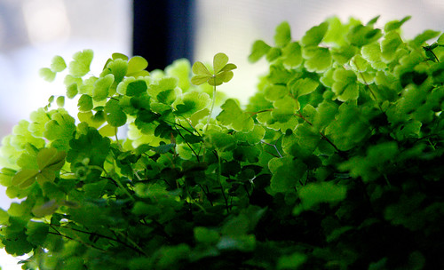 Maidenhair fern in the kitchen window | by artbeco