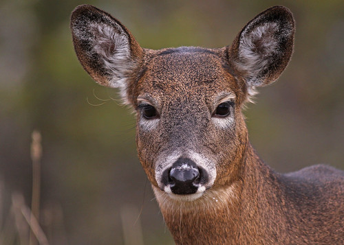 White-tailed Deer...#8 | by Guy Lichter Photography - Thank you for 3M views