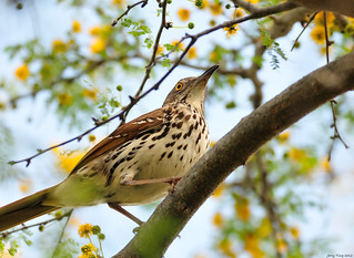 A Brown Thrasher Above | by Jerry Ting