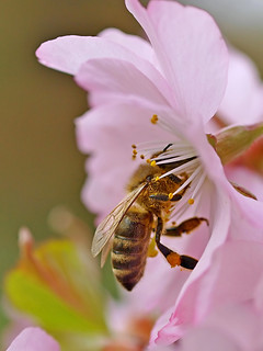 A honey bee working on a Japanese Cherry flower. | by Bienenwabe