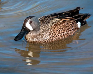 Blue-winged Teal Up Close and Personal | by Jim McConnell