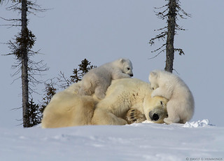 Polar Bear mom and cubs | by Nature's Photo Adventures - David G Hemmings