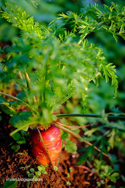 wortel1-0097rw
