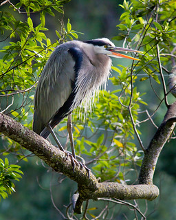 Great Blue Heron | by CatDancing