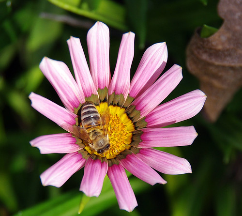 Bee on Gazania 'Kiss Rose' | by Ebroh