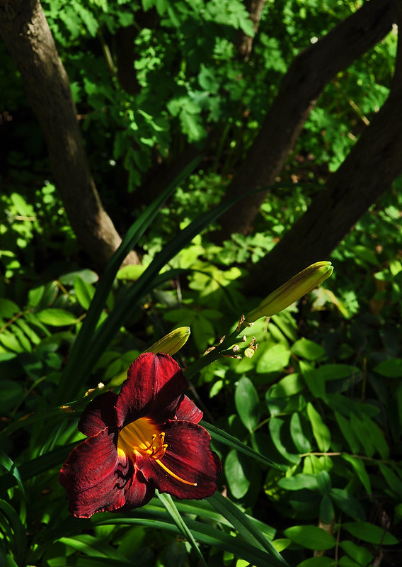 Hemerocallis (unrecorded) (2)
