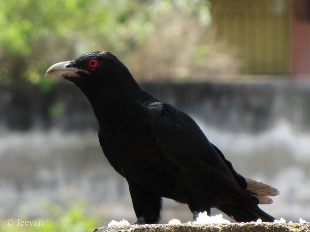Koel on compound