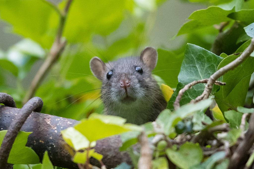 Ratty.