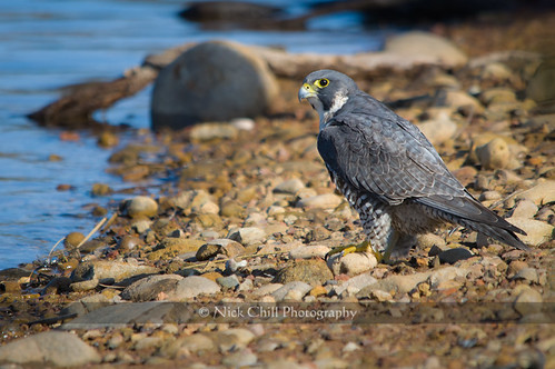 Peregrine at the Lake | by Nick Chill Photography
