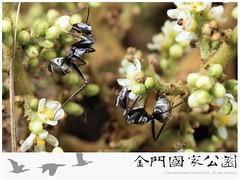 日本黑山蟻