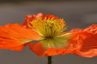 Ornamental poppy | by Hanbitnuri