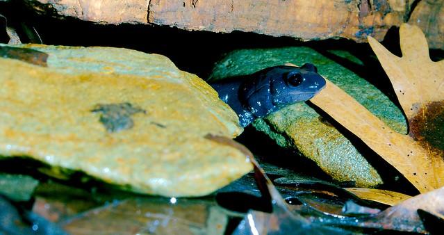 Long Tailed Salamander_2