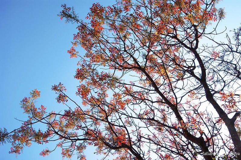 Дерево с красной листвой