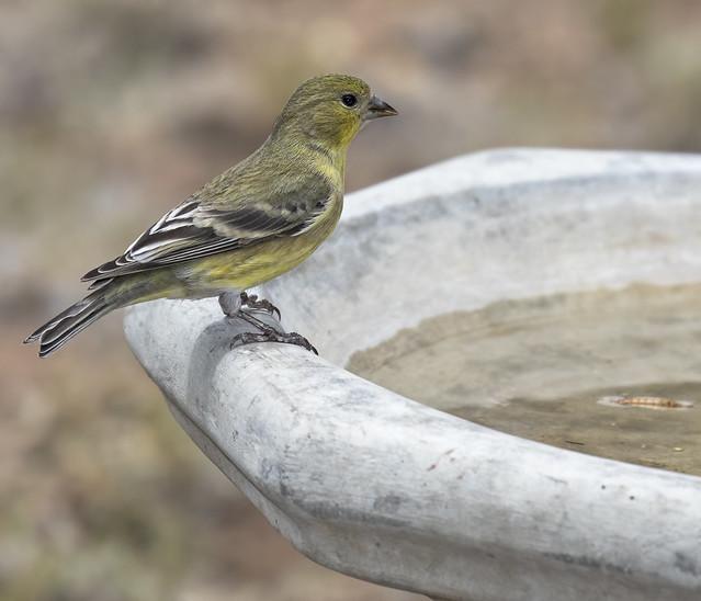 Lesser Goldfinch 7D2_270616