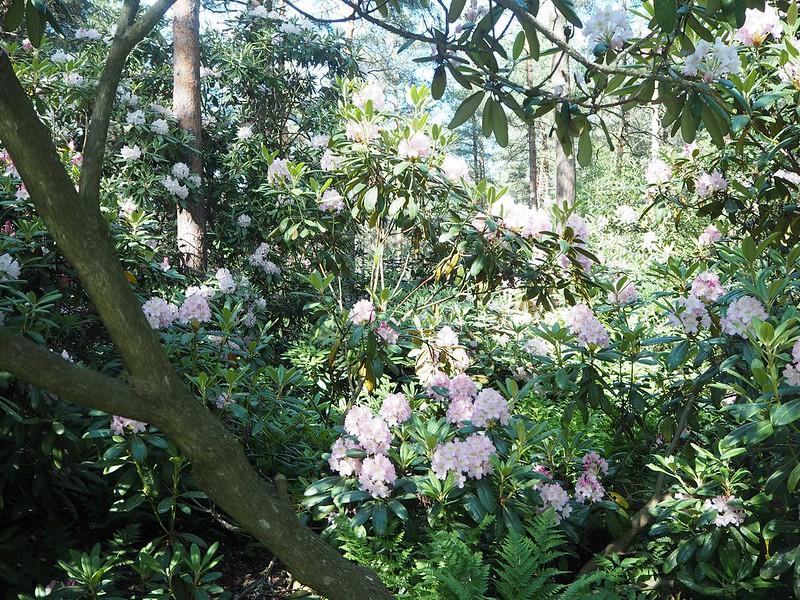 rodoparkpinkflowersP6015542,rodopuistoP6015517, rhodopuisto, alppiruusupuisto, haaga, huopalahti, helsinki, suomi, finland, visit helsinki, tips, retki, nature, alppiruusu,rhododendron, haaga, rodopuisto, rhododendron park, alppi ruusut, kukat, flowers, haagan alppiruusupuisto, rhodopark, bloom, kukinta, june, kesäkuu, rodo shrubs, flowering time, kukinta aika,