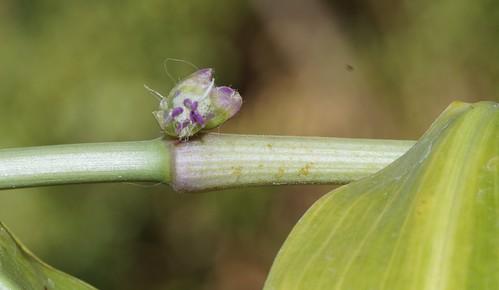 Porandra scandens (= Porandra microphylla) (N0755) ? 27511774551_b9c83953cb