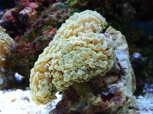 P6255985 榔頭珊瑚
