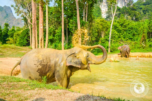 Elephants in Thailand Blowing Water