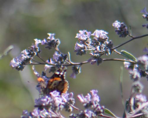Butterfly on Yerba Santa
