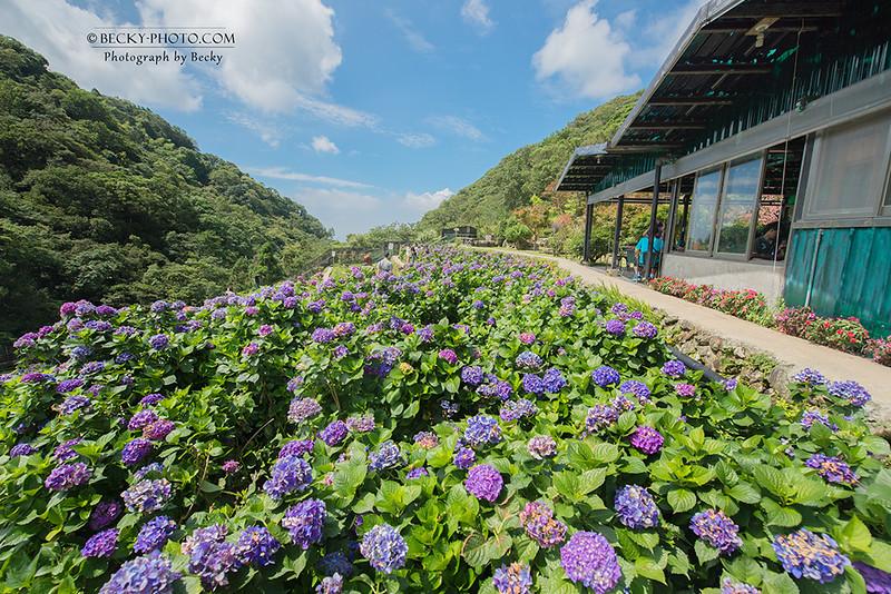 2016.Jun Hydrangea macrophylla @Yangminshan, Taiwan