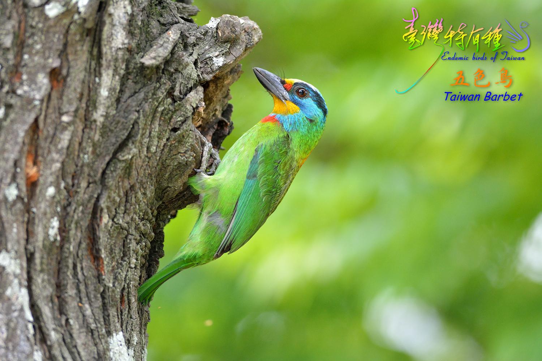 Taiwan_Barbet_0033