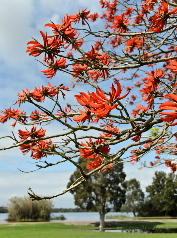 Coral Flame Tree