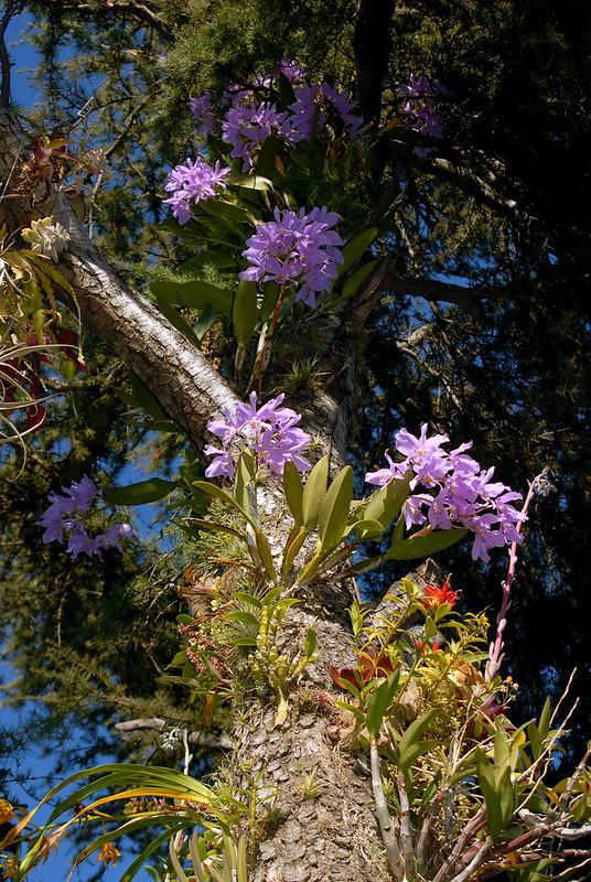 Cattleya Portia coerulea