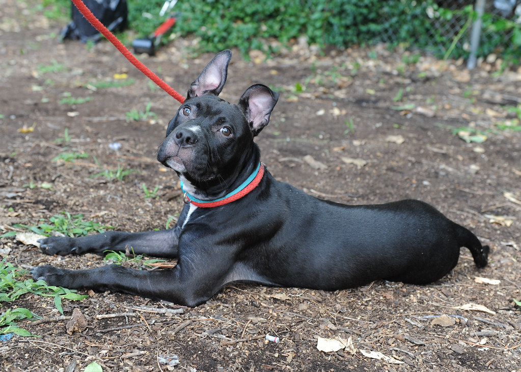 Adopt Me! Dog at the Bergen County Animal Shelter