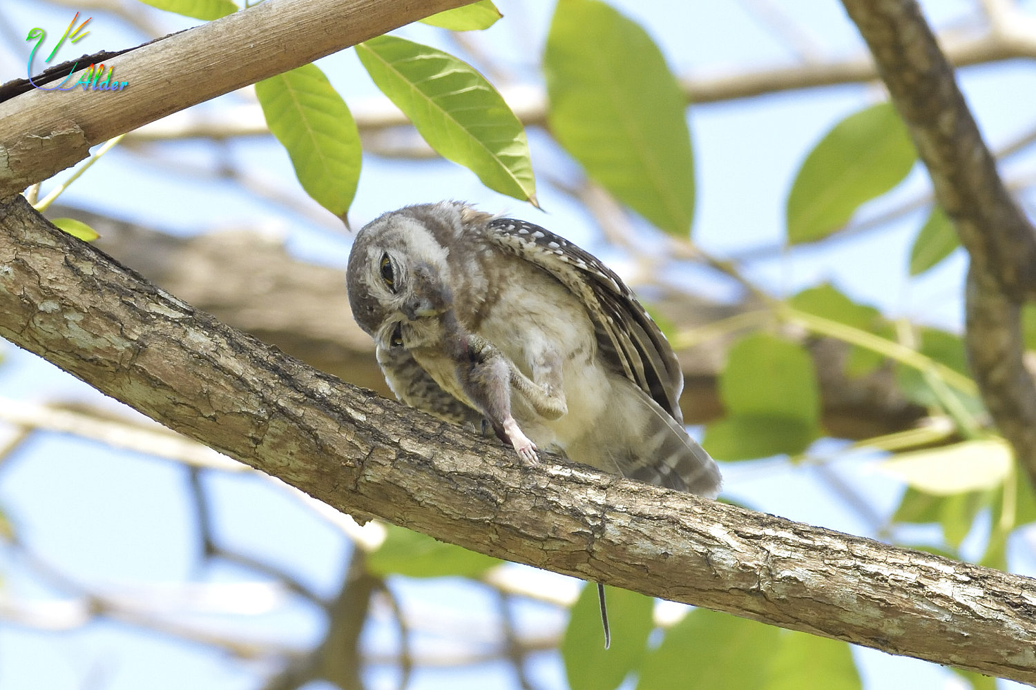 Spotted_Owlet_4614