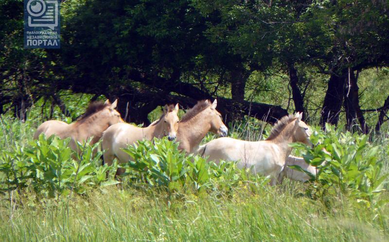 кони копия