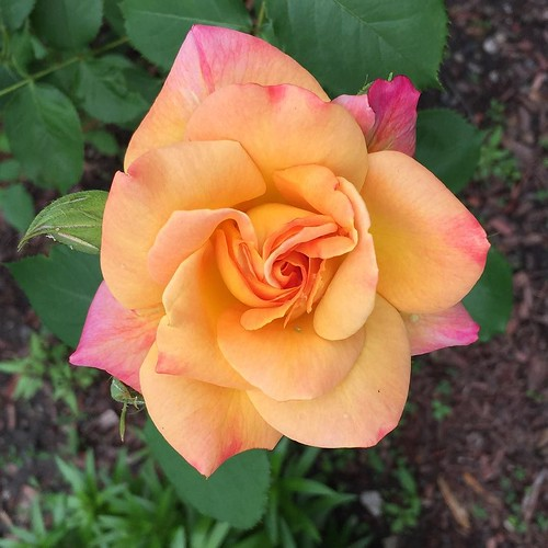 Rose in my neighborhood #rose #flower #spring #chicago